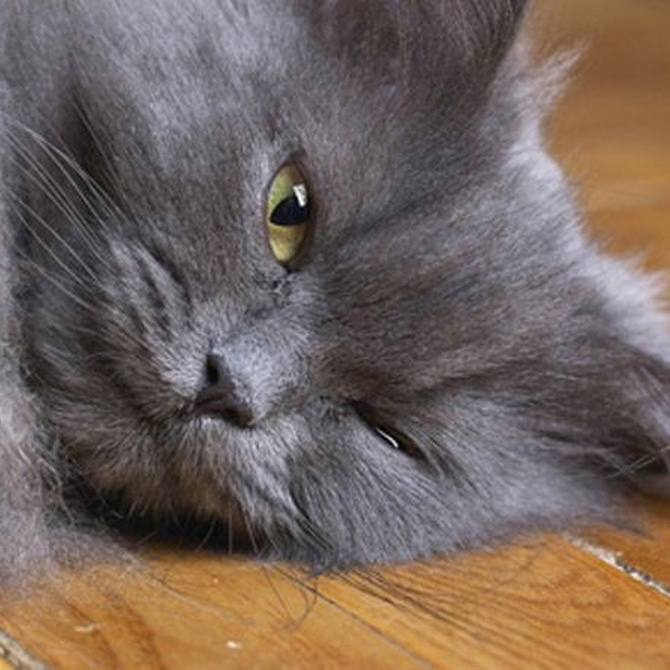 ¿Qué sabes de la leucemia felina?