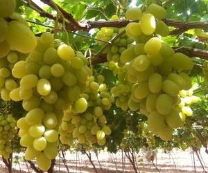 Productores de uva de Murcia
