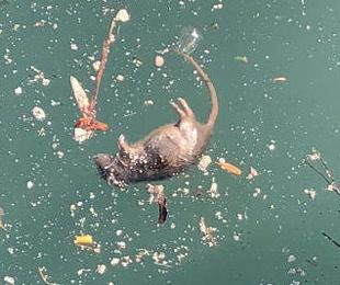 Pesca de ratas en el puerto de Ibiza