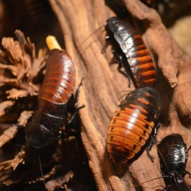 Mitos sobre las cucarachas