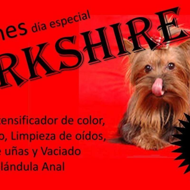 yorkshire en Mascotes Castellbell centre veterinari S.L