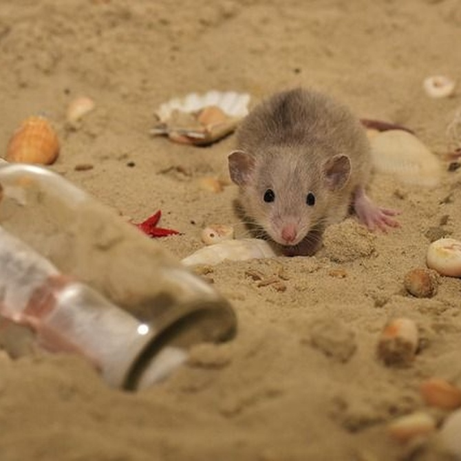 Características de las ratas y los ratones