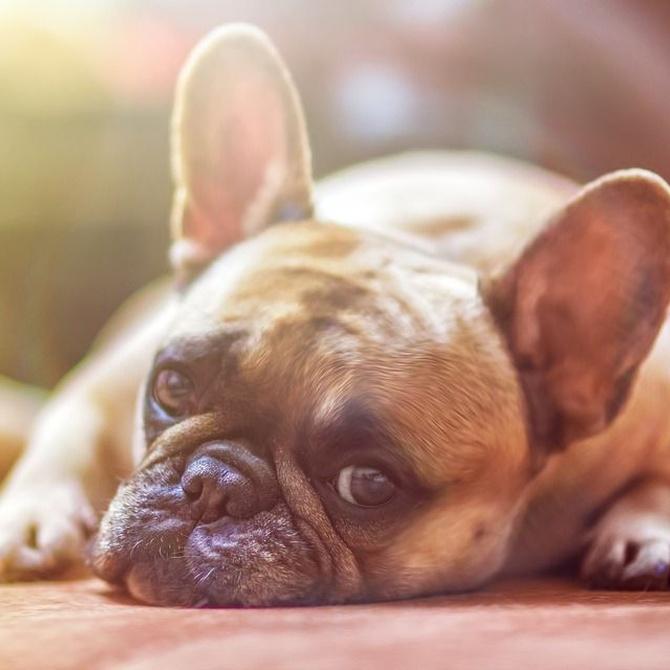Qué es la leishmaniosis canina