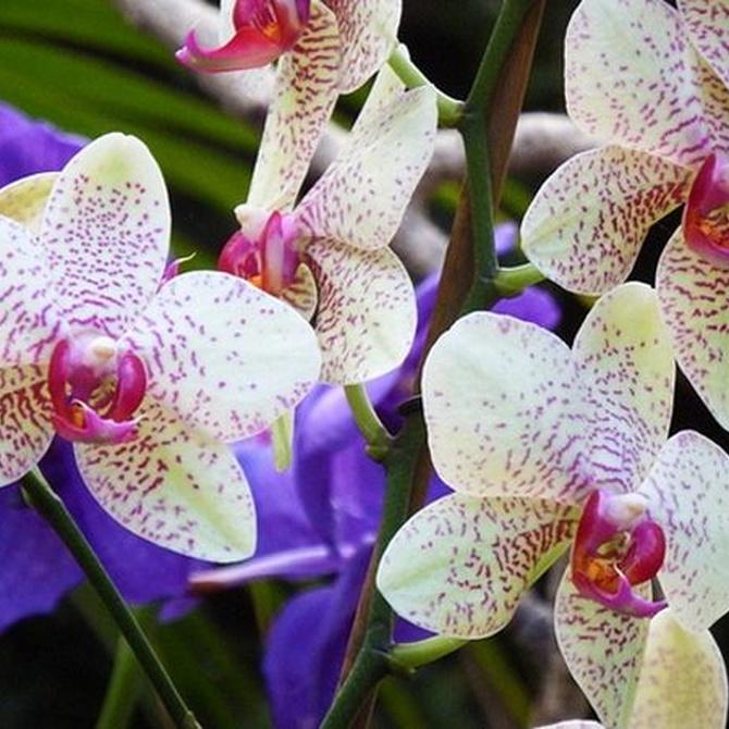 ¿Cómo debemos cuidar las orquídeas?