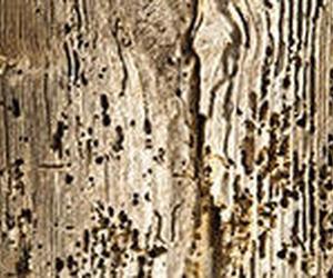 Tratamiento curativo por inyección contra carcoma y hormiga carpintera