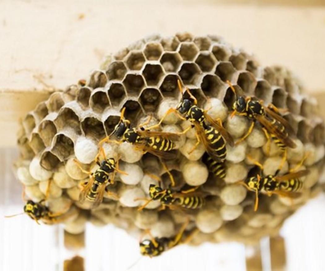 Control de avispas y abejas