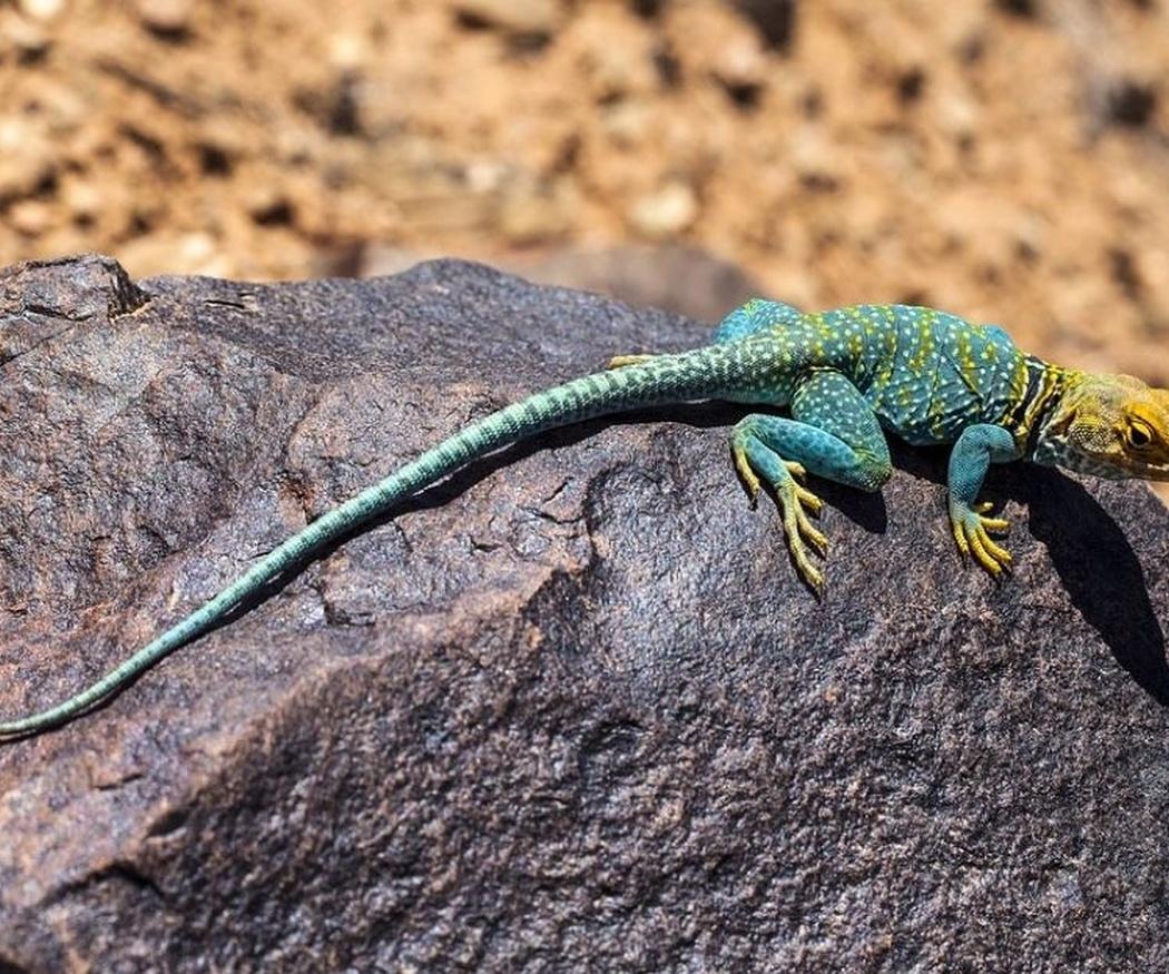 Los problemas de piel en los reptiles (II)