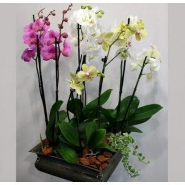 Orquídeas: Catálogo de Flores Freesia