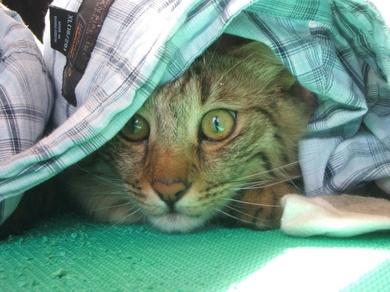 Los gatos y el estrés