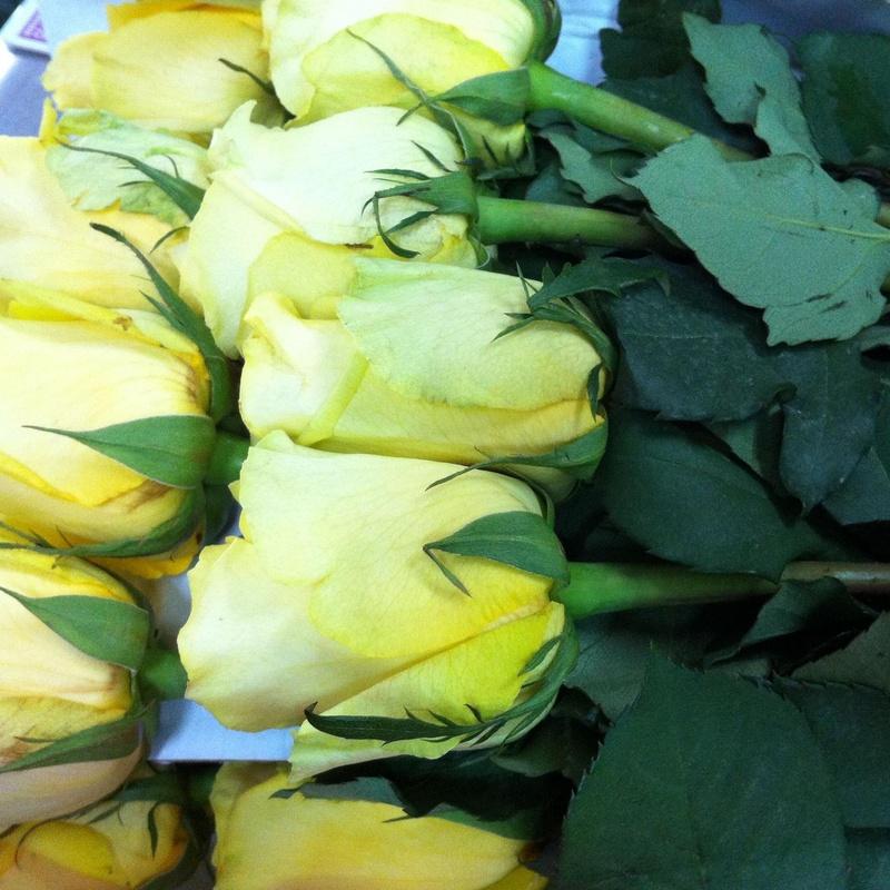 Rosas: Catálogo de Flores Maranta