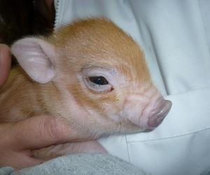 Cerdo Vietnamita Macho