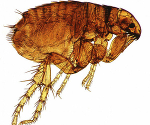 Tratamiento para pulgas