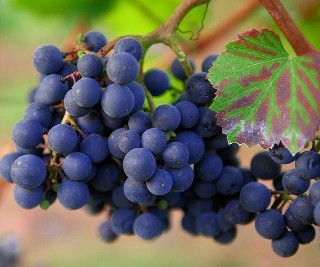 Tipos de uva tinta
