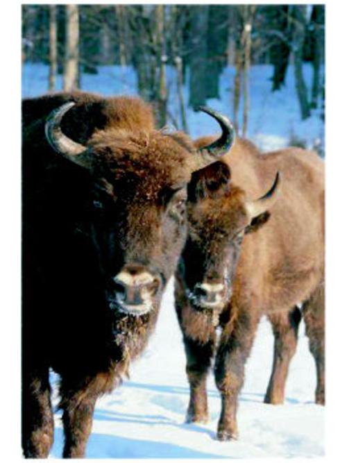 Los bisontes en Bialowieza