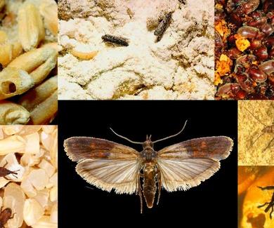 Plagas de los alimentos
