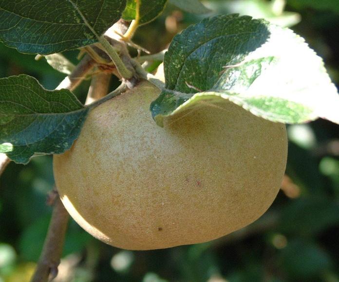 Manzano autóctono gallego - Pero