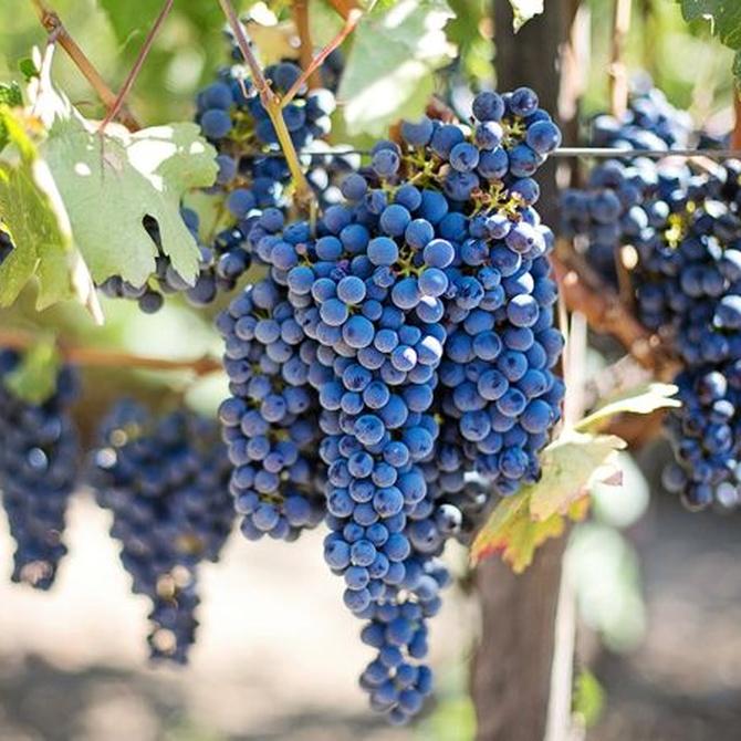 Las variedades de uva de los Rioja