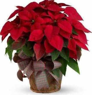 Origen de la planta de Navidad