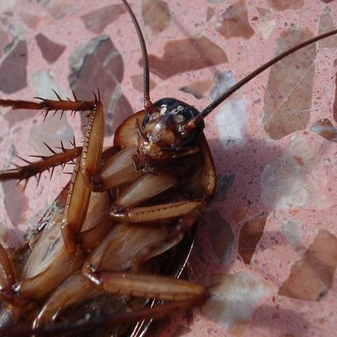 Las cucarachas, supervivientes totales