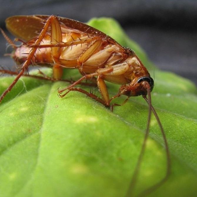 Los peligros de las plagas de cucarachas
