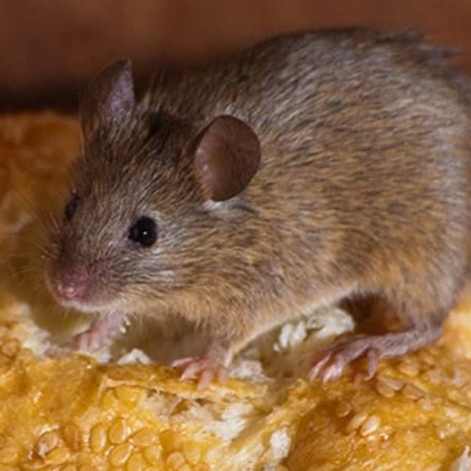 La capacidad reproductiva de las ratas, una amenaza real
