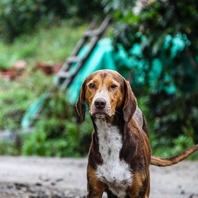 El chip, las redes sociales y los funcionarios son claves para encontrar a un perro perdido