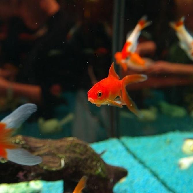 La reproducción de peces en un acuario