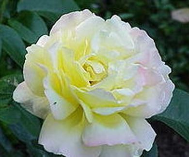 ROSA MADAME A. MEILLAND Ref.107 ( ARBUSTO )