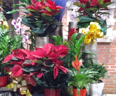 Primeras flores de pascua!