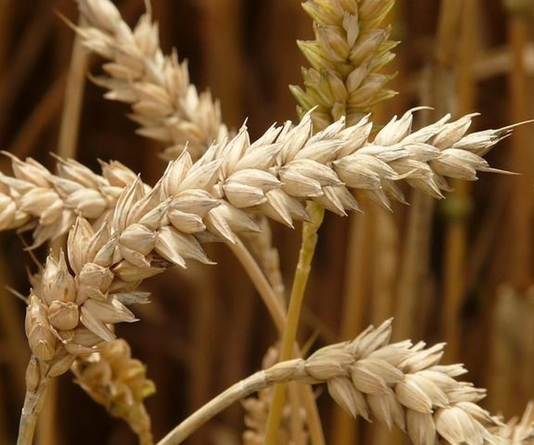Diferencia entre alergia al trigo y celiaquía