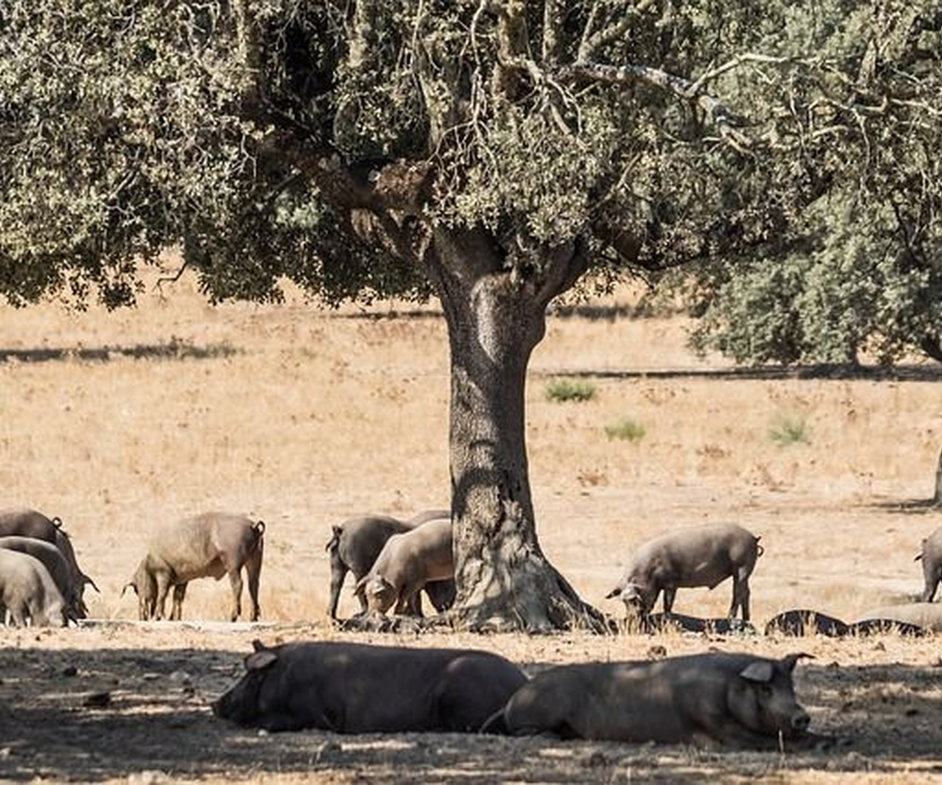 El cerdo ibérico, un manjar imprescindible
