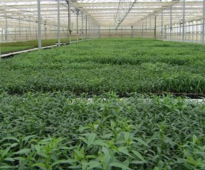 Venta de plantas de Pistacho y Almendros
