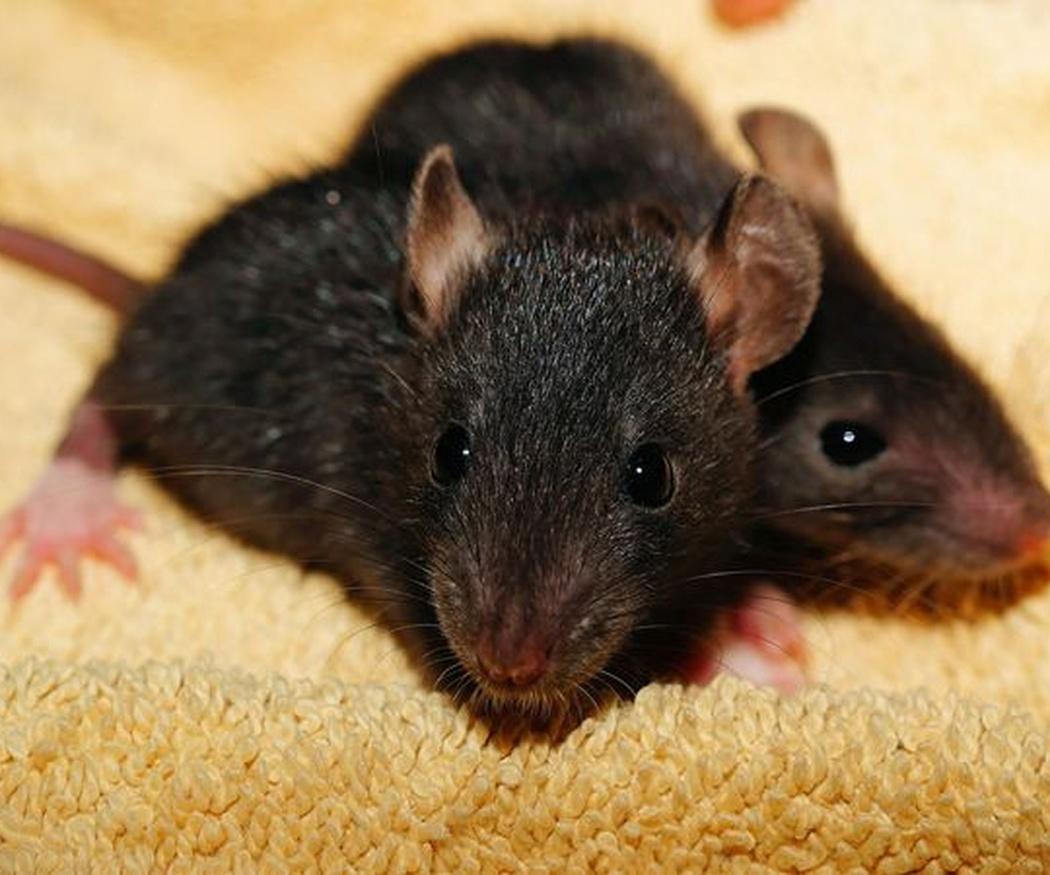 Tu casa libre de ratas