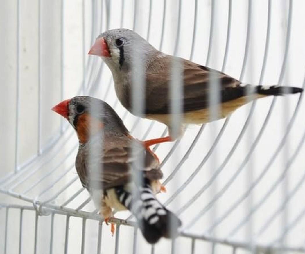 Aspectos a tener en cuenta antes de comprar un pájaro