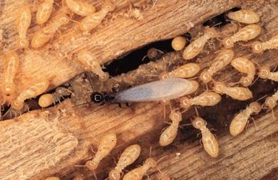 Eliminar termitas en casa