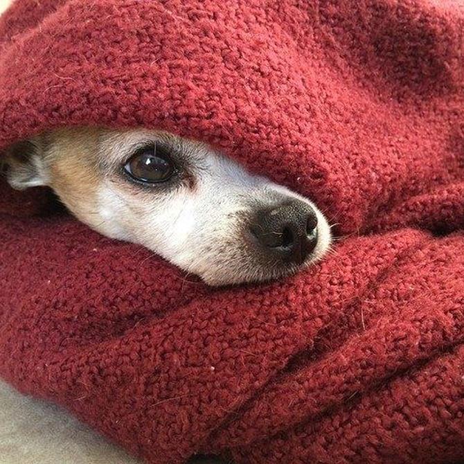 ¿Qué es la leishmaniasis canina?