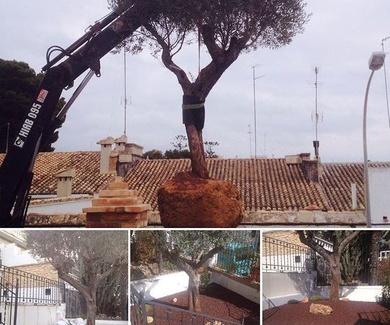 Plantacación de olivera