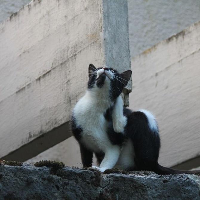 Mi gato se rasca mucho, ¿tiene sarna?