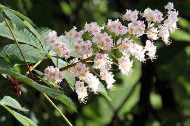 La flor del castaño blanco para tratar el exceso de preocupación