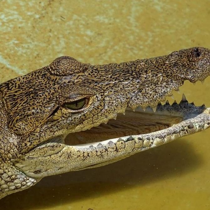 El mito de los cocodrilos en las alcantarillas de Nueva York