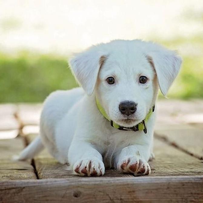 ¿Qué hacer si nuestro perro se hace pis en la tarima?