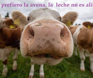 Receta de leche de avena. Inconvenientes de beber vaca