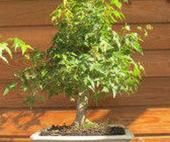 ACEBO 'ALASKA' Ref. 61 ÁRBOL: Productos de Danimayos Crea Tu Jardin