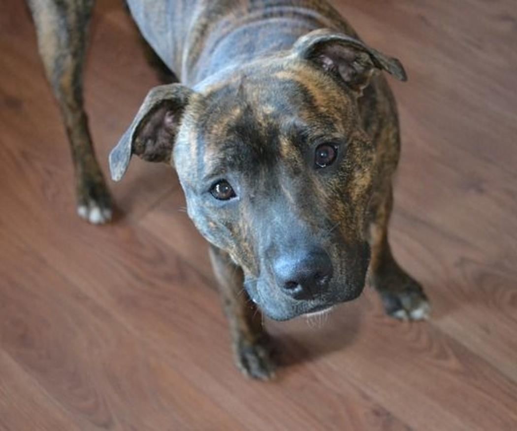 Las razas de perros 'potencialmente' más peligrosos