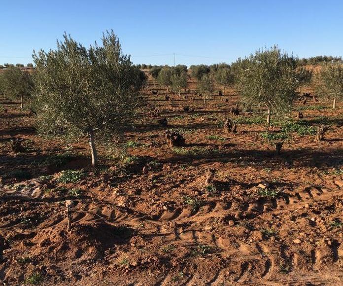 Viña terciada de olivos camino la Padriza: Inmuebles de Inmobiliaria Minerva
