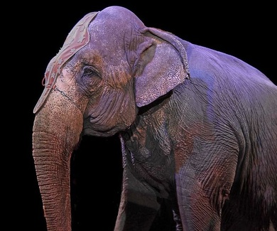 No más circos con animales en Talavera