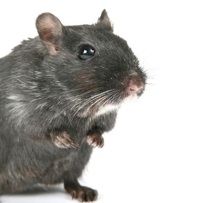 Cómo detectar roedores