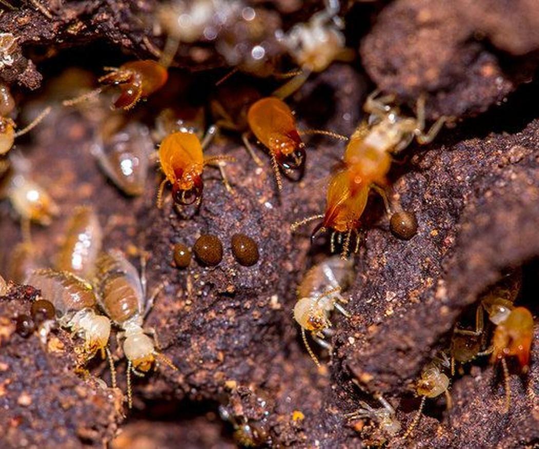 Las especies de termitas más comunes