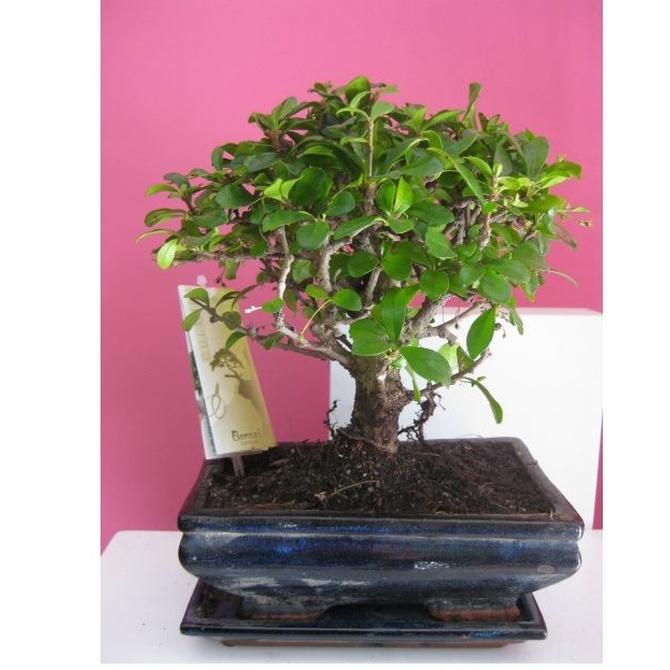 ¿Conoces el origen de los bonsáis? (I)