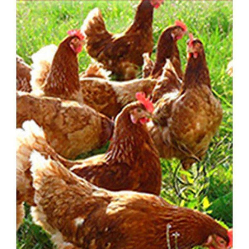 venta de gallinas en bizkaia